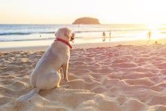 白色狗坐在日落时间的海滩 免版税库存照片