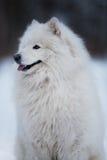 白色狗坐并且凝视入距离 免版税库存图片