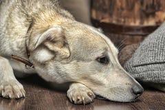 白色狗是哀伤的 免版税库存图片