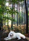 白色狗萨莫耶特人在夏天森林里 免版税库存照片