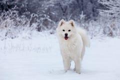 白色狗萨莫耶特人在森林走在冬天 免版税库存图片