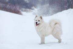 白色狗萨莫耶特人在森林走在冬天 免版税图库摄影