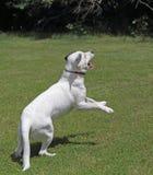 白色狗跳跃 免版税图库摄影