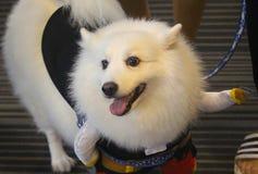 白色狗,愉快地使用 库存图片