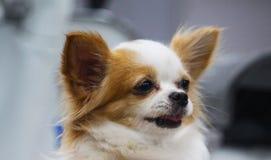 白色狗,愉快地使用 免版税库存图片