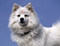 白色狗 免版税库存照片