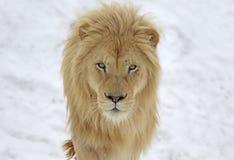 白色狮子凝视 免版税库存照片