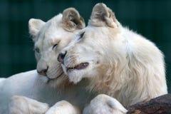 白色狮子和雌狮互相显示柔软并且爱 库存图片