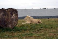 白色狮子在动物园、徒步旅行队或者徒步旅行队公园里 库存图片