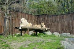 白色狮子在动物园,布拉索夫里 免版税库存图片