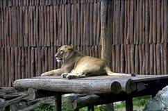 白色狮子在动物园,布拉索夫里 免版税图库摄影