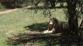 白色狮子在树的树荫下在 免版税库存照片