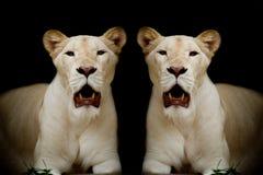 白色狮子特写镜头  库存照片