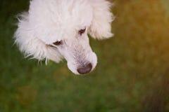 白色狮子狗头 图库摄影