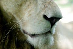 白色狮子鼻子和嘴  免版税库存照片