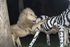 白色狮子殴打一匹假斑马 库存照片