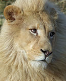 白色狮子-男性 库存图片