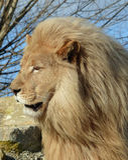 白色狮子-男性 免版税库存图片