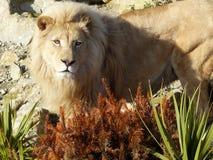 白色狮子-男性 免版税库存照片