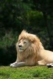 白色狮子画象 库存照片