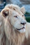 白色狮子画象02 库存照片