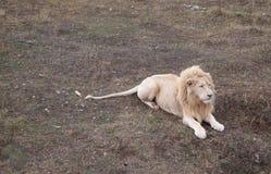 白色狮子 免版税图库摄影