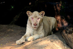 白色狮子 库存照片