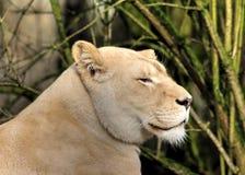 白色狮子头 库存图片