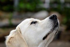 白色猎犬 免版税图库摄影