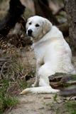 白色猎犬 库存照片