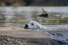 白色猎犬 图库摄影