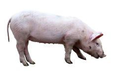 白色猪 免版税图库摄影