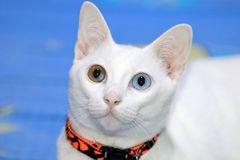 白色猫两口气眼睛颜色 库存图片