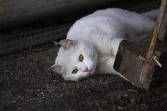 白色猫使用 免版税库存图片