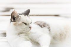 白色猫在板条放下 免版税库存照片
