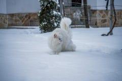白色猫在雪站立 免版税库存照片