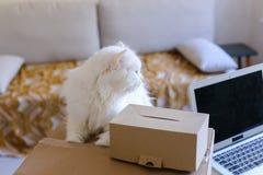 白色猫坐表和要进入大箱子 免版税库存照片