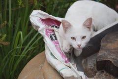 白色猫坐陶器大桶和凝视在与机敏的眼力的照相机 免版税库存照片