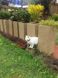白色猫庭院花 库存图片