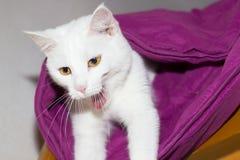 白色猫掩藏 库存照片