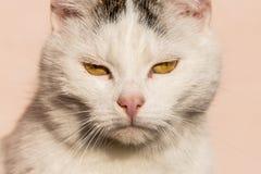白色猫特写镜头 免版税库存图片