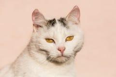 白色猫特写镜头 库存图片