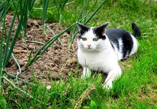 黑白色猫狩猎在夏天庭院里 库存照片