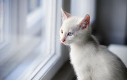 白色猫窗口 库存图片