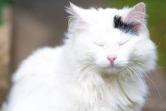 白色猫,弄糟注视 库存图片