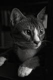 黑&白色猫画象2 免版税库存照片