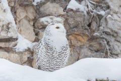白色猫头鹰或多雪的猫头鹰 免版税库存图片