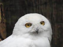 白色猫头鹰股票似乎是醒的 库存图片