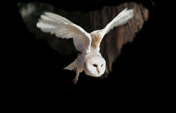 白色猫头鹰飞行 库存照片