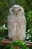 白色猫头鹰 免版税库存照片